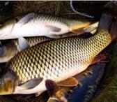 Foto в Домашние животные Рыбки ТОВАРНАЯ ЖИВАЯ РЫБА для зарыбления водоемов:карп в Домодедово 130