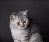 Чистокровного британского котика уникальных линий 4319524 Британская короткошерстная фото в Калининграде