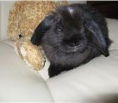 Изображение в Домашние животные Грызуны Отдам крольчиху вислоухого барана в добрые в Электростали 0