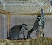 Фотография в Домашние животные Другие животные Продам малышей лемуров Катта, Вари, Бурый в Москве 180000