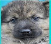 Фотография в Домашние животные Отдам даром Отдам в хорошие руки щенка-девочка 1мес. в Улан-Удэ 0