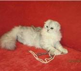 Foto в Домашние животные Вязка Опытный Шотландский вислоухий котик 1,5 года в Перми 0