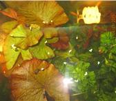Фото в Домашние животные Рыбки нимфея красная в Магнитогорске 200