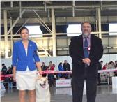Foto в Домашние животные Вязка собак Сибирский хаски CHERNYI VALLS ZHON D'OR Титулы: в Нижнем Тагиле 777