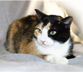Foto в Домашние животные Отдам даром Трейси – трехцветная кошка. Ждет своего хозяина, в Екатеринбурге 0