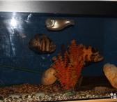 Изображение в Домашние животные Рыбки продам аквариум(500л),астронотусов,аравану в Тольятти 0