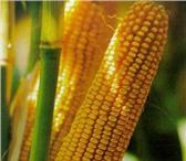 Изображение в Домашние животные Растения Семена кукурузы раннеспелые гибриды, семена в Краснодаре 40