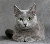Кошку «Русской голубой» породы,  Голубого окраса с зелеными глазами,  Возраст 2 года, 153440  фото в Якутске