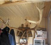 Изображение в Хобби и увлечения Охота Продаю рога взрослого оленя,приготовленного в Москве 12000