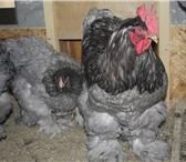 Фотография в Домашние животные Птички Цыплята мясо яичной породы Кохинхины голубые в Екатеринбурге 250