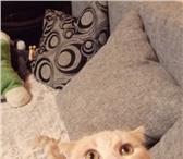 Фото в Домашние животные Вязка Шикарный Опытный котик возрастом 2 года . в Екатеринбурге 1500