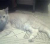 Фотография в Домашние животные Вязка Неопытный кремовый котяра ищет опытную киску в Самаре 0