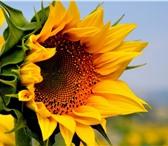 Изображение в Домашние животные Растения ООО «КУБАНЬ АГРО» предлагает к реализации в Краснодаре 200