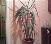 Foto в Домашние животные Растения продам юкку в большом горшке,высота больше в Челябинске 600