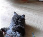 Foto в Домашние животные Вязка Молоденький котик породы Хайлен Страйт, цвет: в Краснодаре 1000