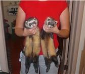 Фотография в Домашние животные Другие животные Продаются щенки хорька,  возраст 3 и 4 месяца. в Челябинске 7000