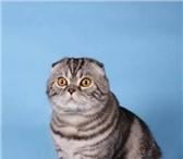 Фотография в Домашние животные Услуги для животных Красивый,  интеллигентный СКОТТИШ ФОЛД ждет в Екатеринбурге 500