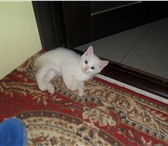 Фотография в ? Отдам даром-приму в дар котёнка белого цвета в хорошие руки, девочка, в Улан-Удэ 0