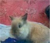 Foto в Домашние животные Грызуны Карликовые лисьи кролики др 11.01.11,  окрасы:тюренгенский( в Ярославле 1500
