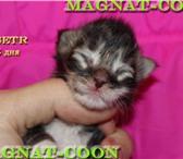 Котята Гиганты Породы Мейн Кун 296719 Мейн-кун фото в Якутске