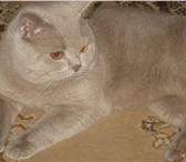 Foto в Домашние животные Вязка шотландский кот,клубный,с родословной приглашает в Курске 2000