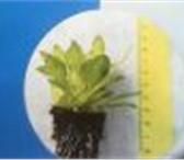 Фотография в Домашние животные Растения Питомник в Краснодарском крае принимает заказы в Пензе 17