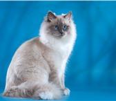 Изображение в Домашние животные Вязка Сибирский кот (Inter Champion WCF) не местных в Архангельске 0