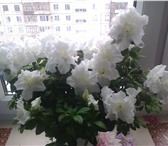 Изображение в Домашние животные Растения Продам Архидею (Фаленопсис), Азалию в Уфе 500