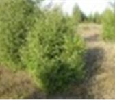Фото в Развлечения и досуг Организация праздников Новогодние Елки и сосны деревянные крестовины в Екатеринбурге 140