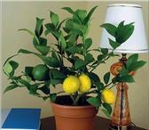 Foto в Домашние животные Растения куплю комнатное дерево лимона,привитое,плодоносящее в Саратове 0