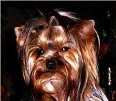Фотография в Домашние животные Услуги для животных опытный мужчина,3 года,вес 1.кг.700гр. приглашает в Смоленске 1