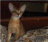 Абиссинские Котята-Девочки дикого и соррель окрасов 167157  фото в Якутске