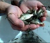 Foto в Хобби и увлечения Рыбалка Живец карася 3-6см, стоимость 30руб за шт. в Москве 30