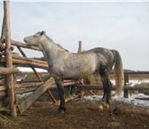 Фото в Домашние животные Другие животные Продам жеребца орловской породы, возраст в Красноярске 155000