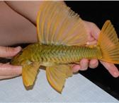 Изображение в Домашние животные Рыбки малек и подростки из коллекции северумов в Москве 0