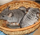 Foto в Домашние животные Грызуны Продам шиншилл. Помощь в уходе. Также продаю в Канск 4000