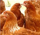 Изображение в Домашние животные Птички Порода -неприхотлива, приспосабливается к в Туле 320