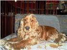 Изображение в Домашние животные Вязка собак Кобель, возраст 4 года, окрас светлый, красивый в Иркутске 0