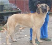 Изображение в Домашние животные Выставки собак Продаю щенков турецкого кангала (анатолийская в Апрелевка 60000