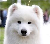Foto в Домашние животные Вязка собак Antey Loudestar Rey ( Антей Свет Полярной в Самаре 25000