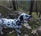 Фотография в Домашние животные Вязка собак Красавица Берта ищет жениха для вязки. Нам в Улан-Удэ 0