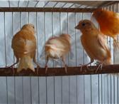 Изображение в Домашние животные Птички Продаю канареек и кенаров  Молодые здоровые в Мытищах 0