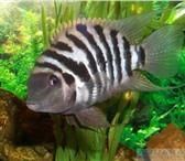 Фотография в Домашние животные Рыбки Они неприхотливы, достаточно миролюбивы, в Кирове 0