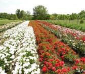 Foto в Домашние животные Растения Роза.О красивейшем на земле из цветков, можно в Ставрополе 95