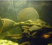 Foto в Домашние животные Рыбки очень красивый и неприхотливый в Пензе 1000