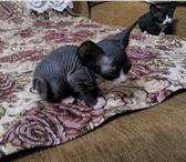 Продаются два котенка 4408617 Канадский сфинкс фото в Омске