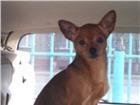 Foto в Домашние животные Вязка собак Очаровательный кабель той-терьер ищет даму в Иркутске 2000