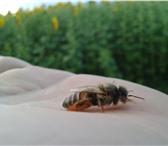 Foto в Домашние животные Другие животные Продаются пчелосемьи. Можно с ульями, порода в Воронеже 0
