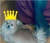 Foto в Домашние животные Вязка собак Шпиц(поверанский) девочка 5 лет,  размер в Липецке 0