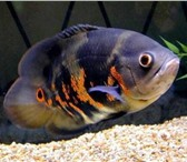 Фотография в Домашние животные Рыбки Продаю красивых Астронотусов в наличии 10 в Ростове-на-Дону 500